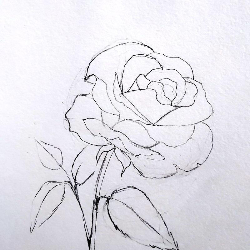 набросок карандашом розы