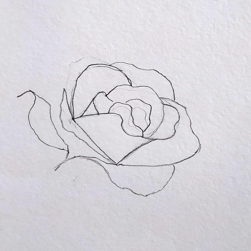 роза карандашом 3